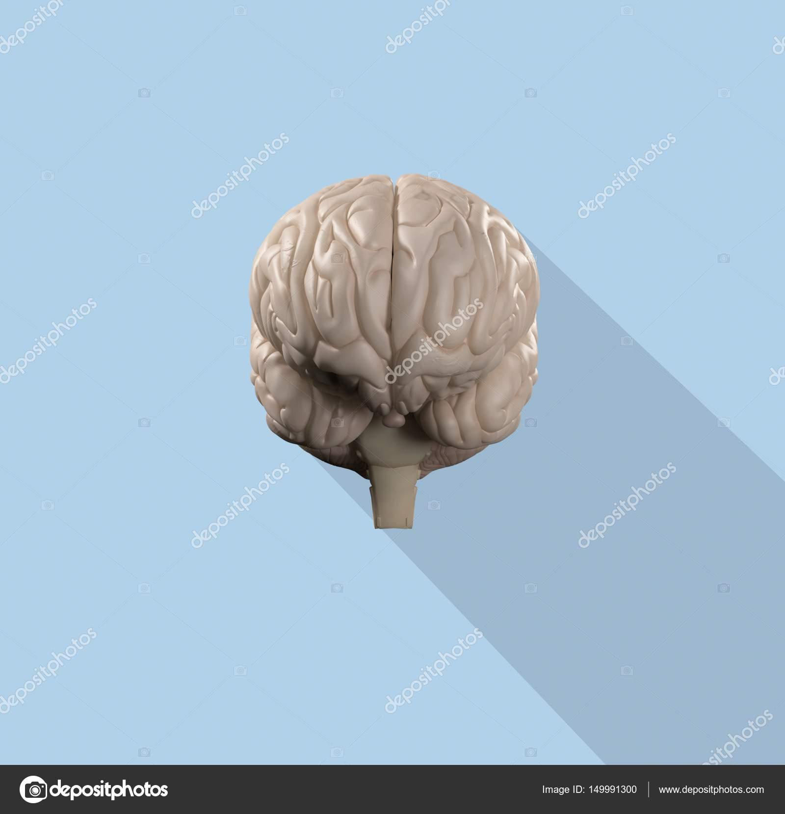 Human brain anatomy model icon — Stock Photo © AnatomyInsider #149991300