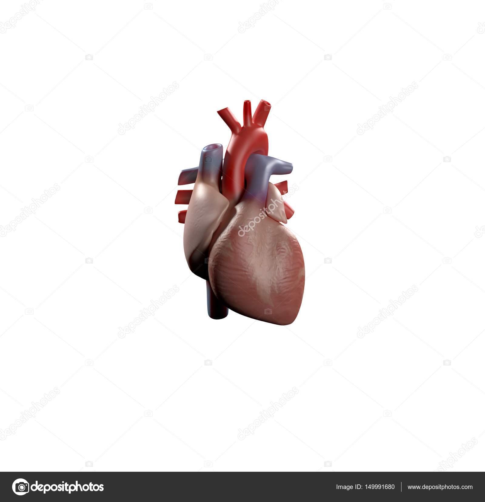Menschliche Anatomie Modell Herzsymbol — Stockfoto © AnatomyInsider ...