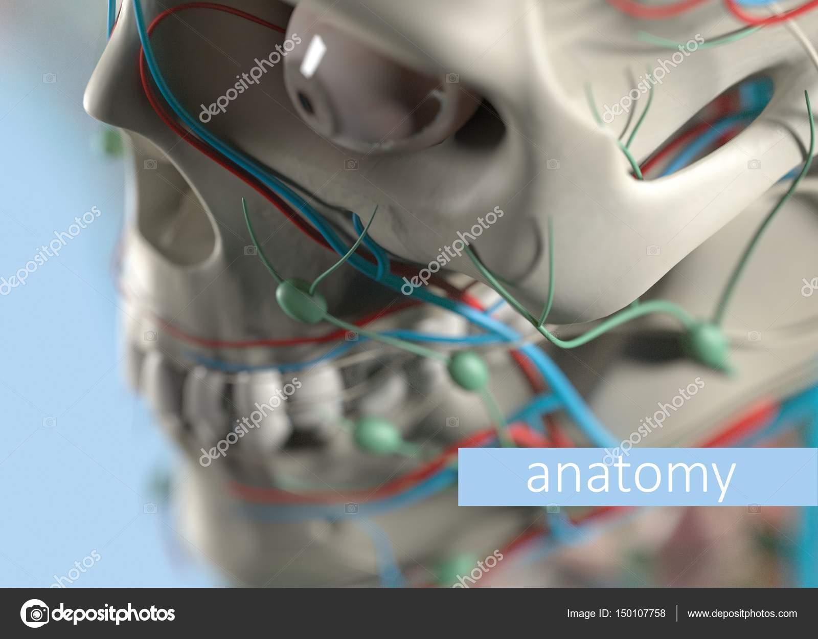 Anatomie Modell extreme Nahaufnahme. Selektiven Fokus. Menschlichen ...