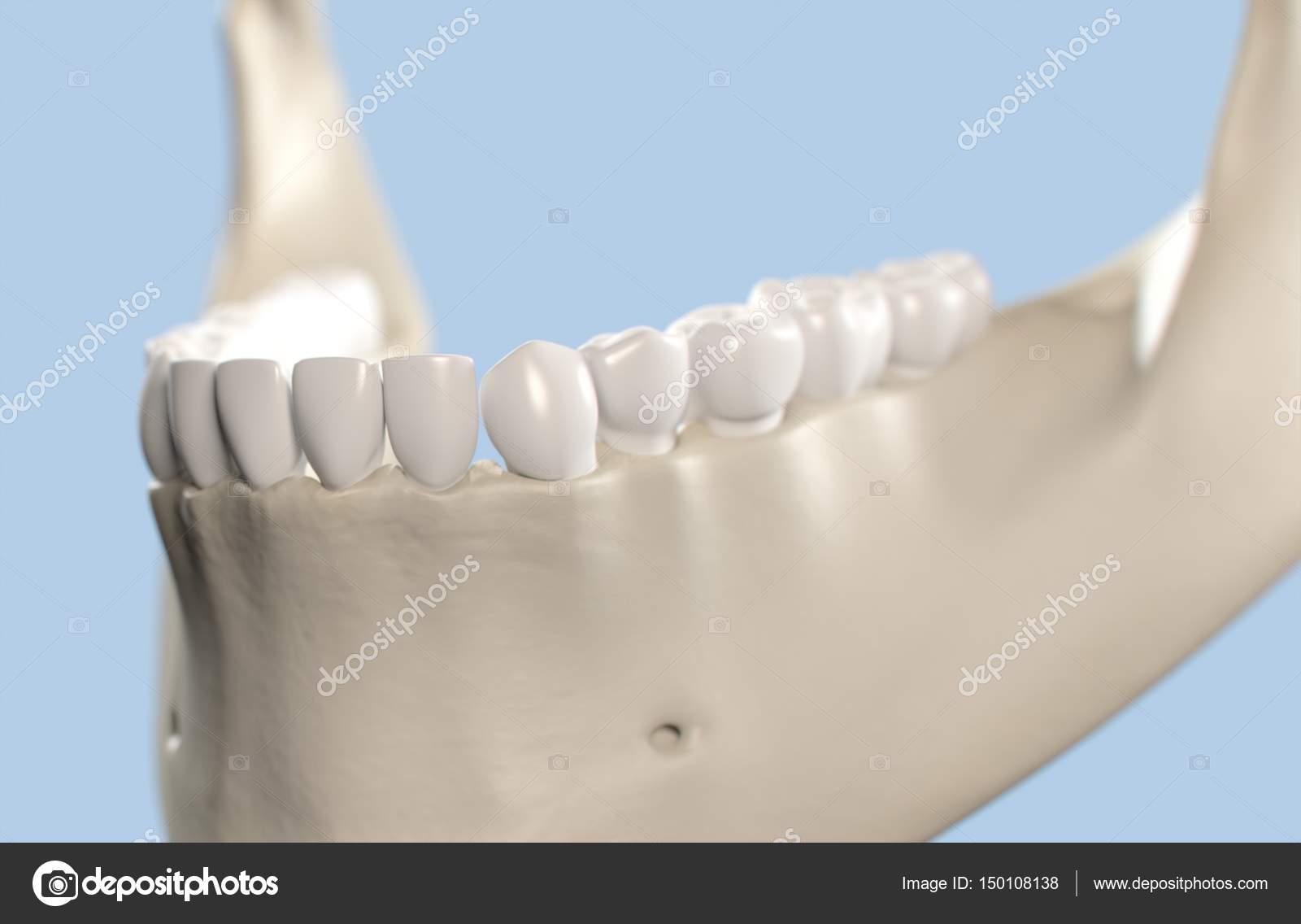 Human Teeth Anatomy Model Stock Photo Anatomyinsider 150108138
