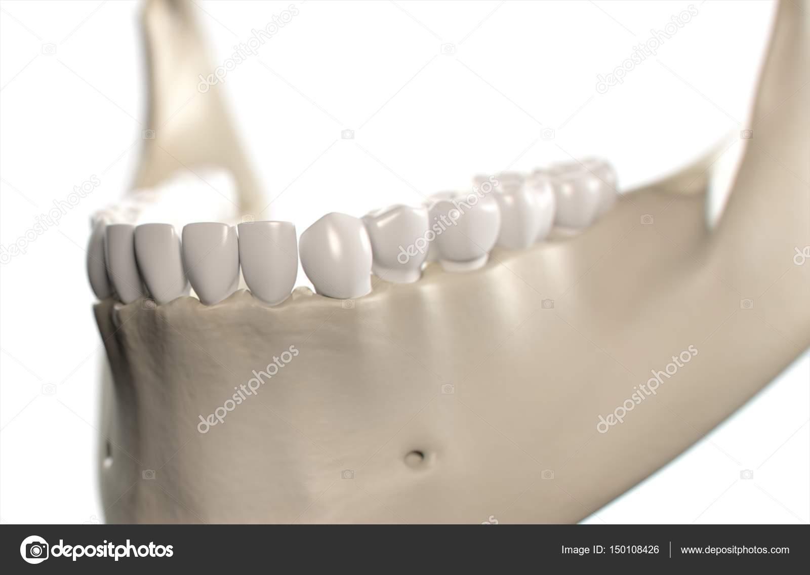 Human Teeth Anatomy Model Stock Photo Anatomyinsider 150108426