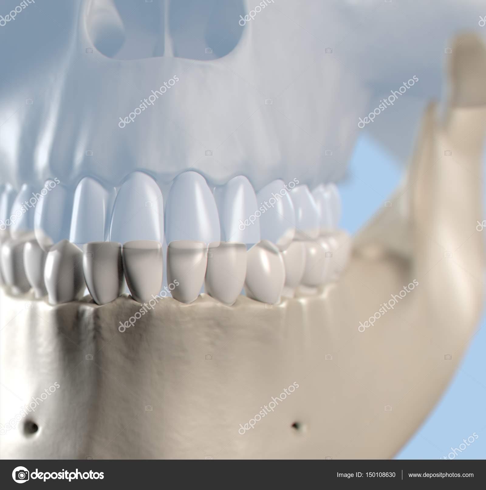 Human Teeth Anatomy Model Stock Photo Anatomyinsider 150108630