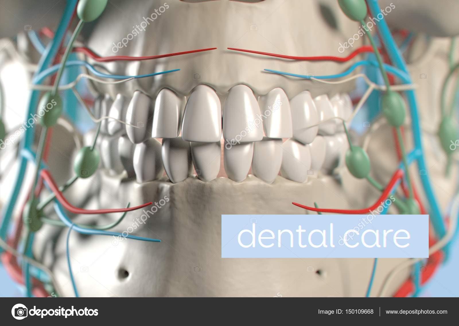 Menschliche Zähne Anatomie Modell — Stockfoto © AnatomyInsider ...