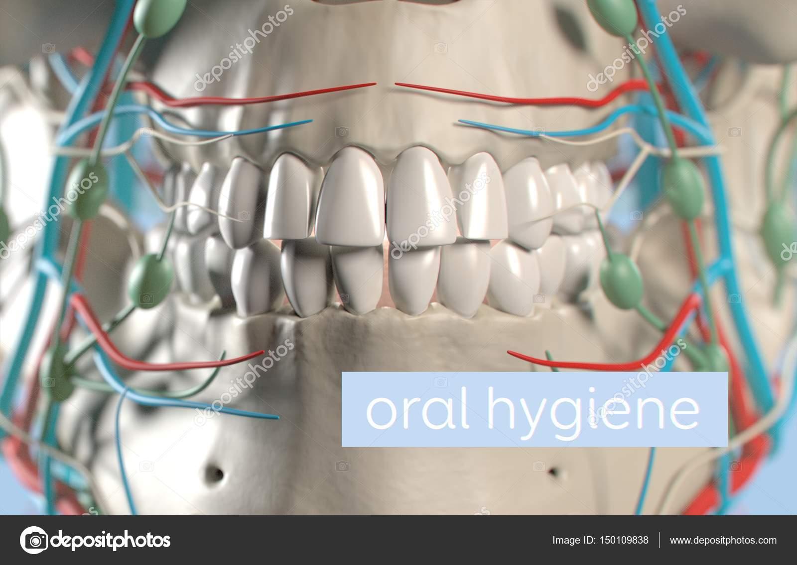 Human Teeth Anatomy Model Stock Photo Anatomyinsider 150109838