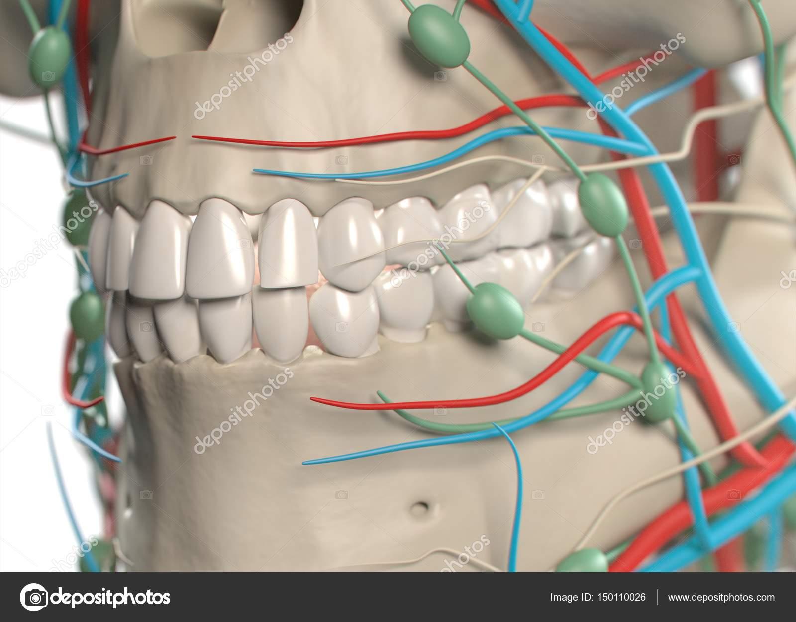 Human teeth anatomy model — Stock Photo © AnatomyInsider #150110026