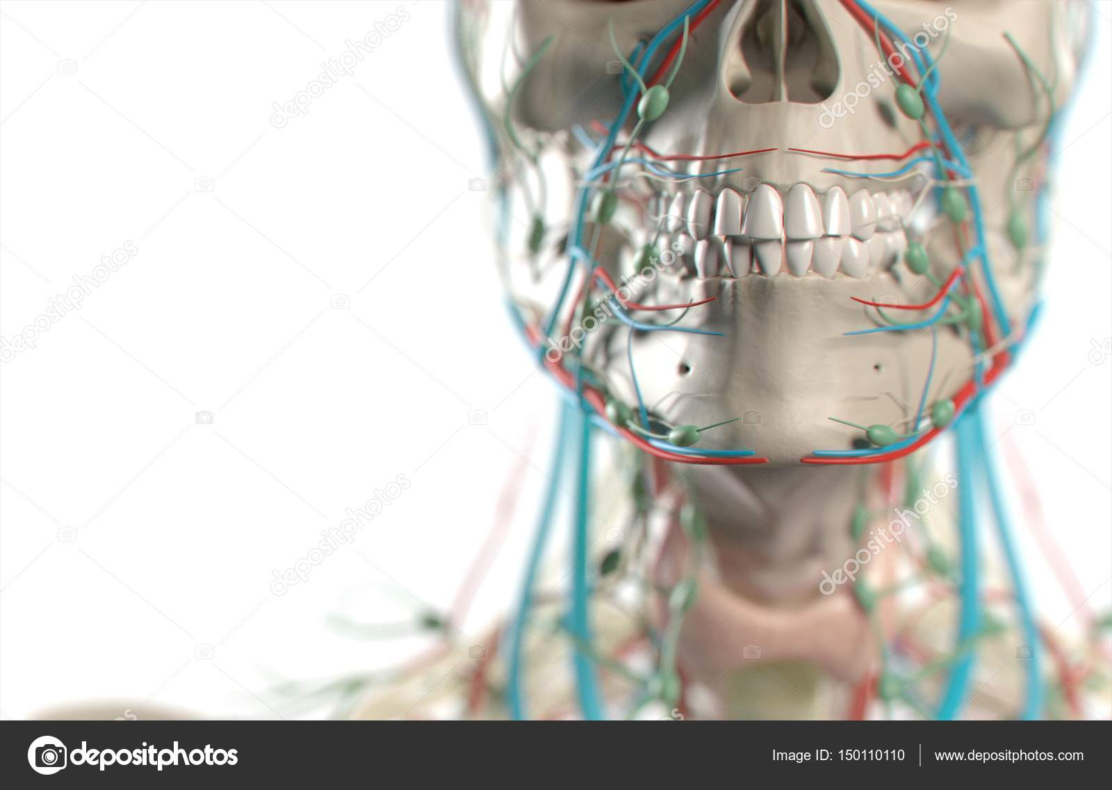Human teeth anatomy model — Stock Photo © AnatomyInsider #150110110