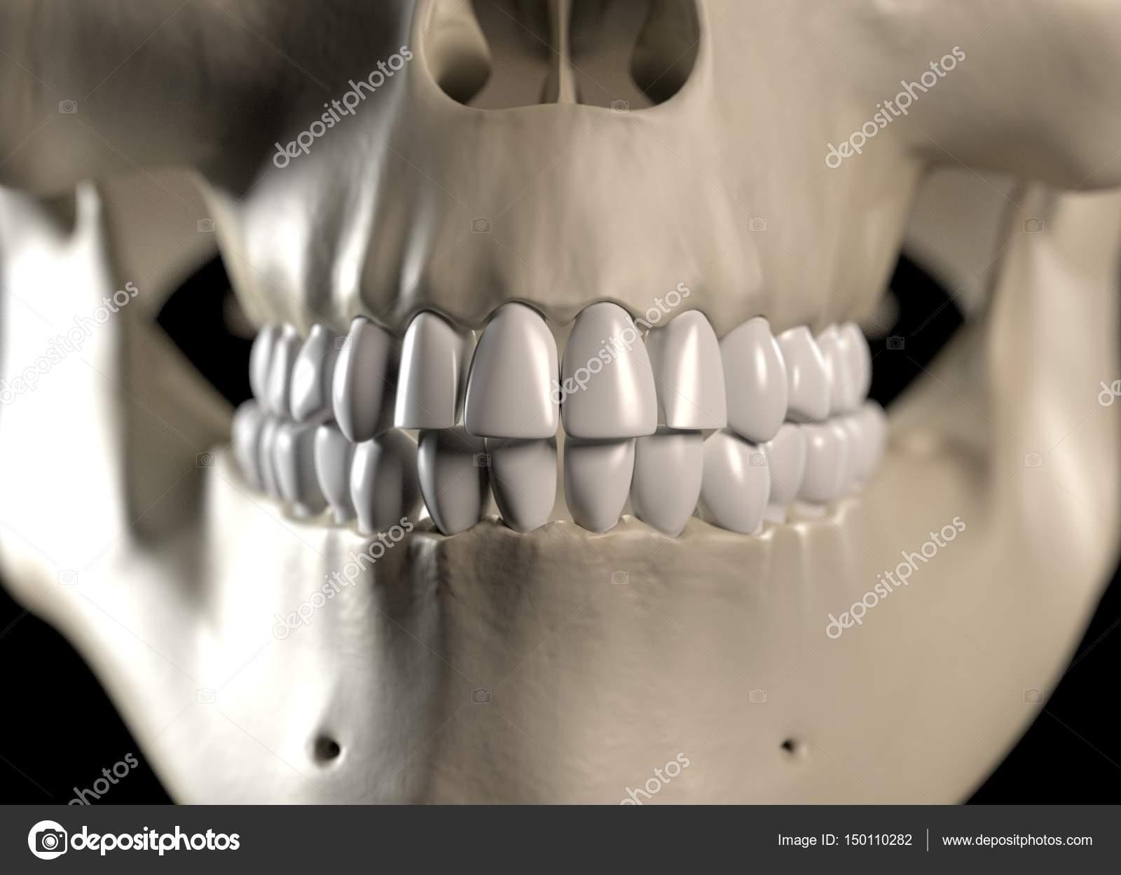 Human Teeth Anatomy Model Stock Photo Anatomyinsider 150110282