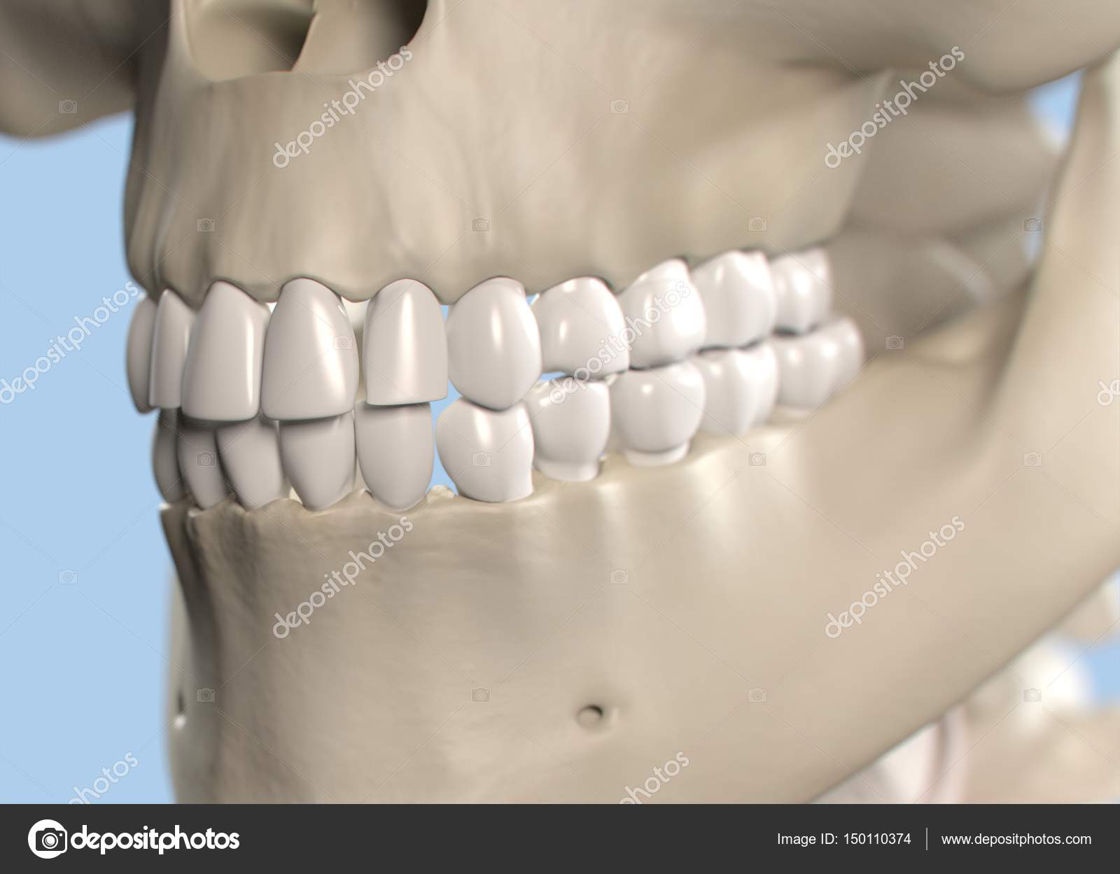 Human teeth anatomy model — Stock Photo © AnatomyInsider #150110374