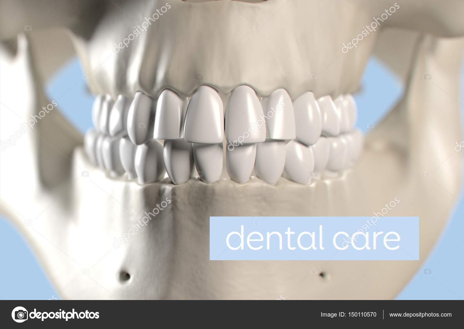 Human teeth anatomy model — Stock Photo © AnatomyInsider #150110570