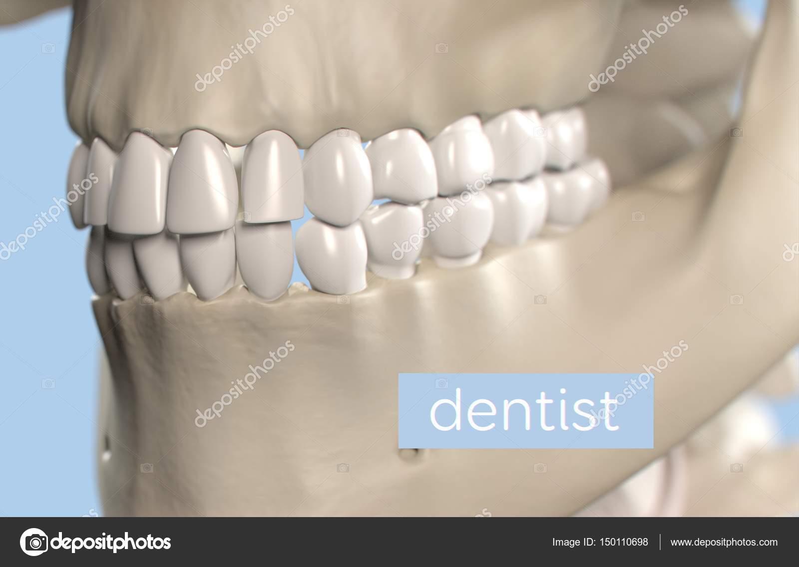 Human Teeth Anatomy Model Stock Photo Anatomyinsider 150110698