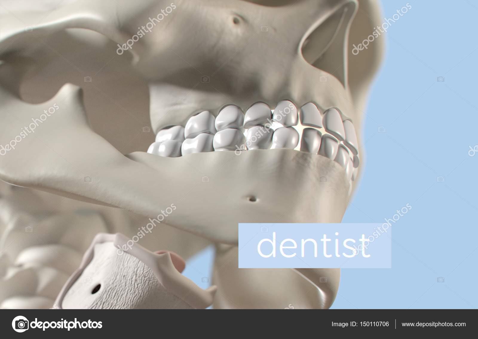 Human Teeth Anatomy Model Stock Photo Anatomyinsider 150110706