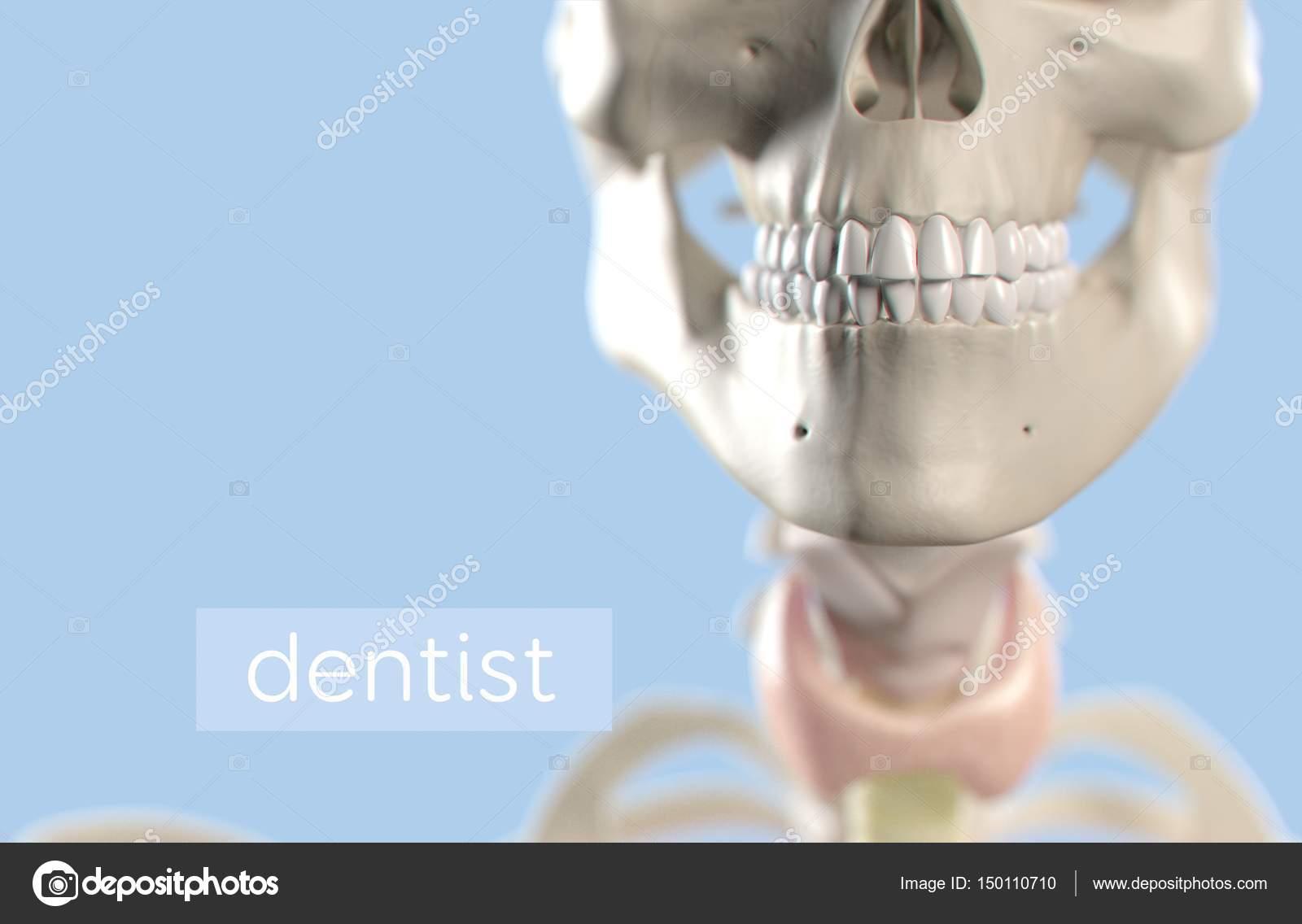Ausgezeichnet Menschliche Kieferanatomie Fotos - Anatomie Von ...