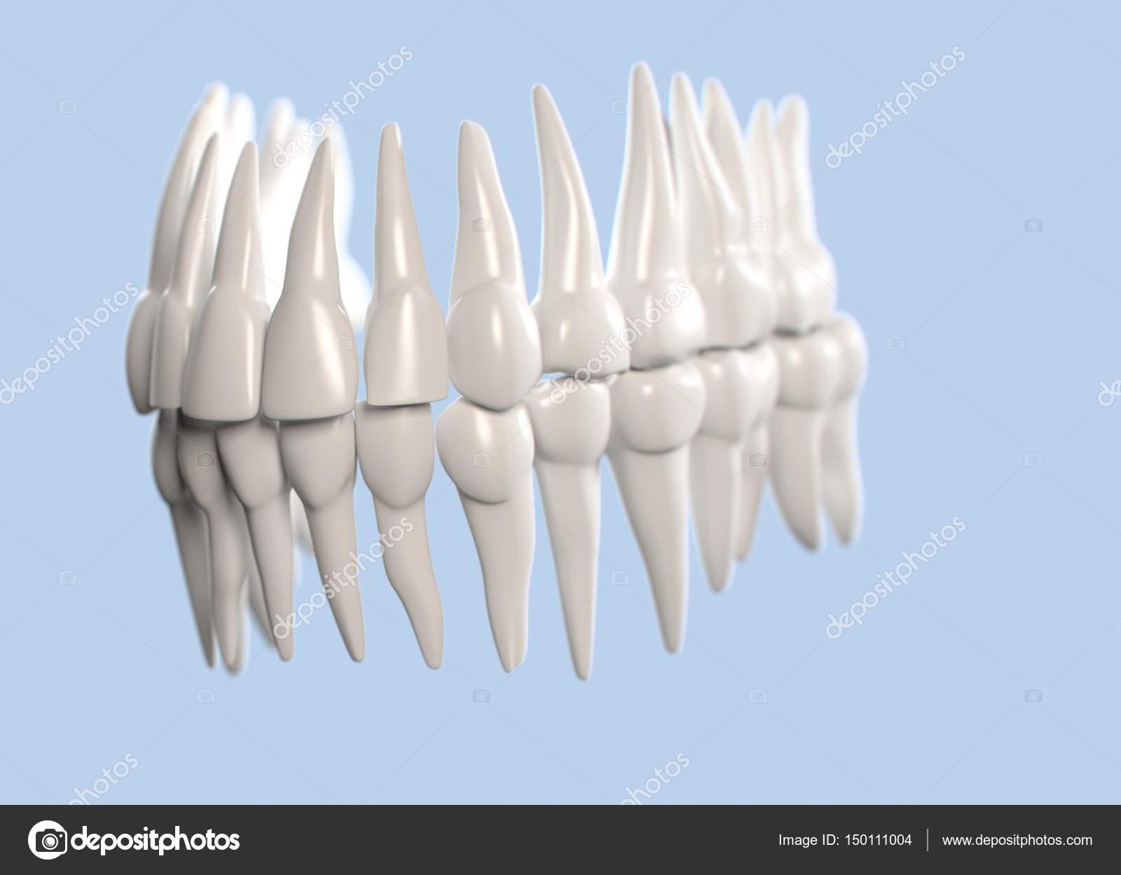 Human Teeth Anatomy Model Stock Photo Anatomyinsider 150111004
