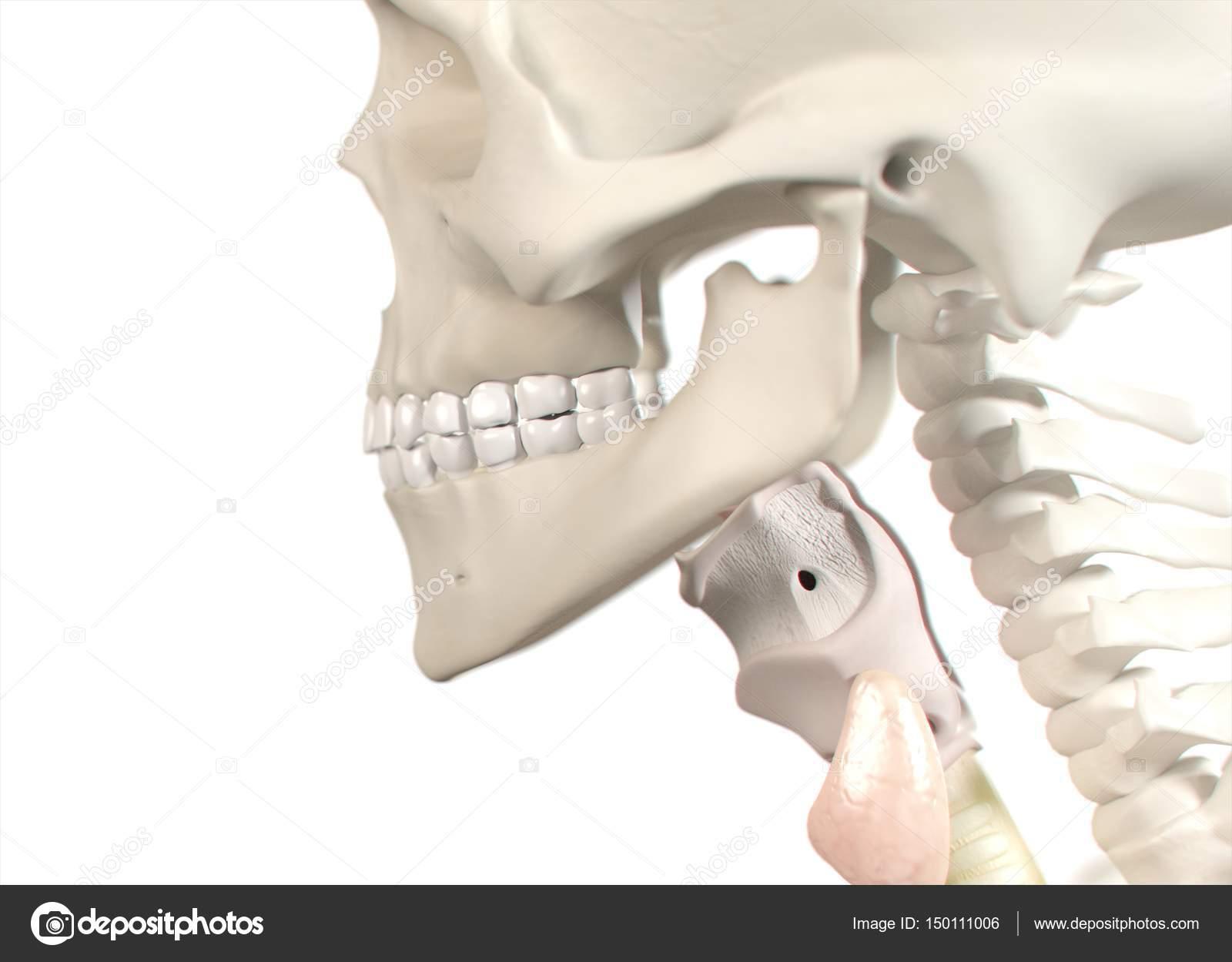 Human Teeth Anatomy Model Stock Photo Anatomyinsider 150111006