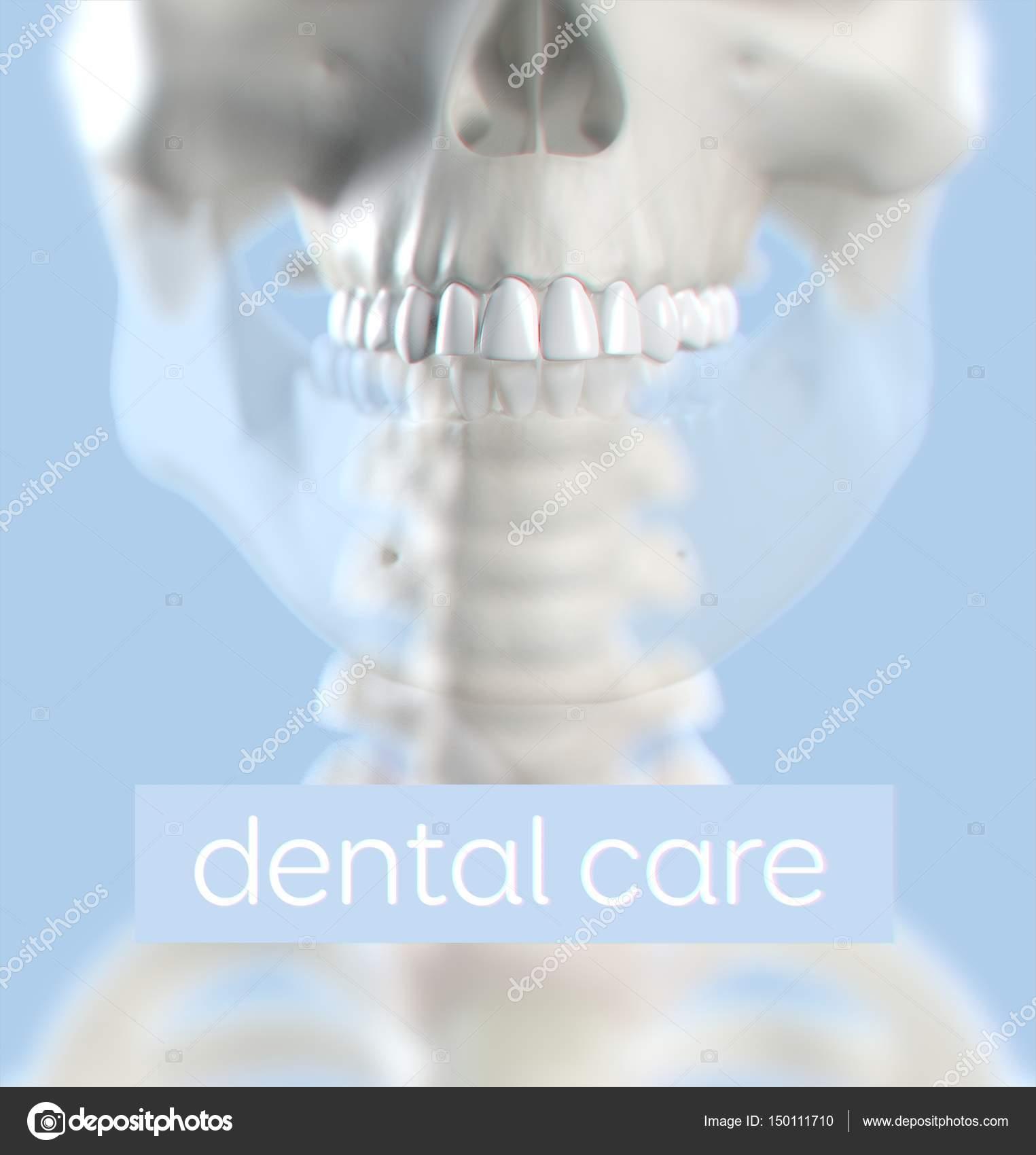 Human Teeth Anatomy Model Stock Photo Anatomyinsider 150111710