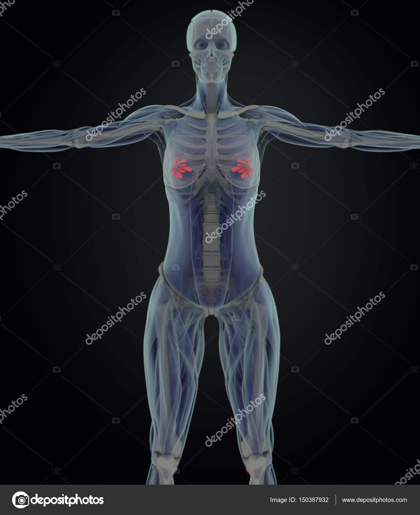 Weibliche Brust-Anatomie-Modell — Stockfoto © AnatomyInsider #150387932