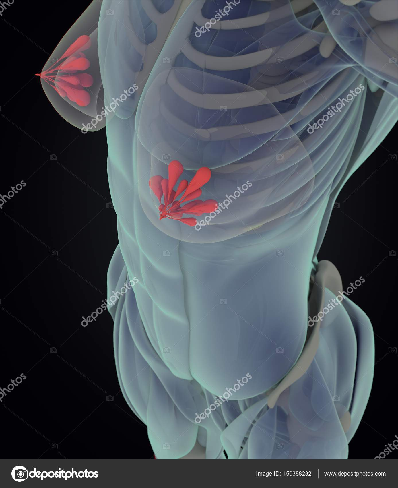 Modelo de anatomía del pecho femenino — Foto de stock ...