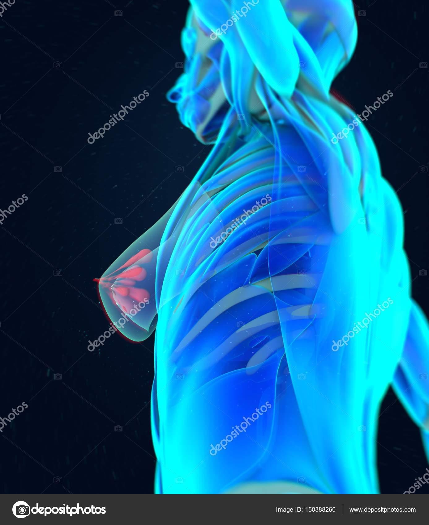 Modelo de anatomía del pecho femenino — Fotos de Stock ...