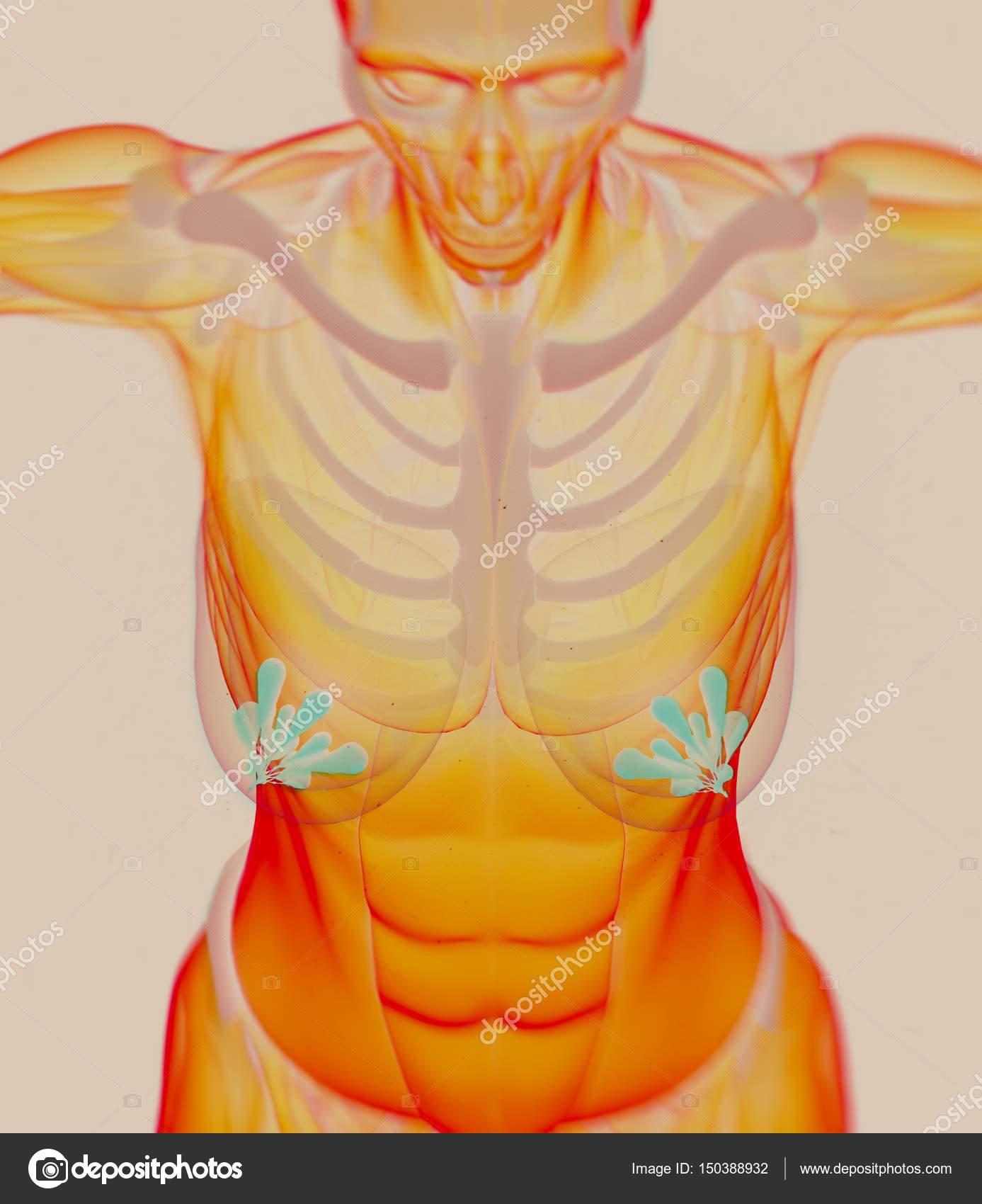 Weibliche Brust-Anatomie-Modell — Stockfoto © AnatomyInsider #150388932
