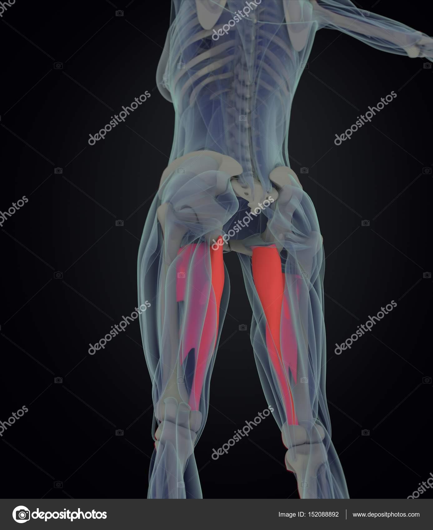 Adduktoren-Muskeln Anatomie Modell — Stockfoto © AnatomyInsider ...