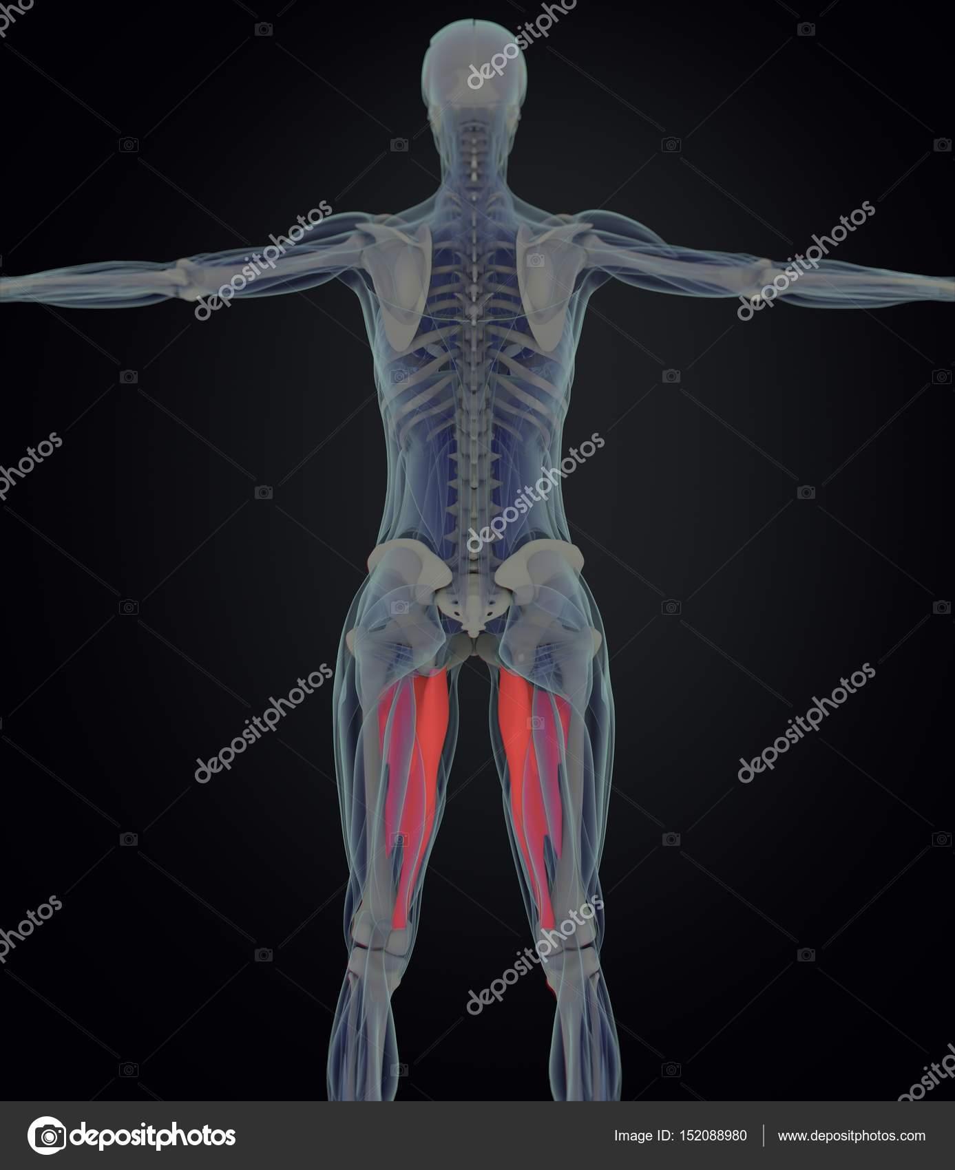 adductor Muscles anatomy model — Stock Photo © AnatomyInsider #152088980