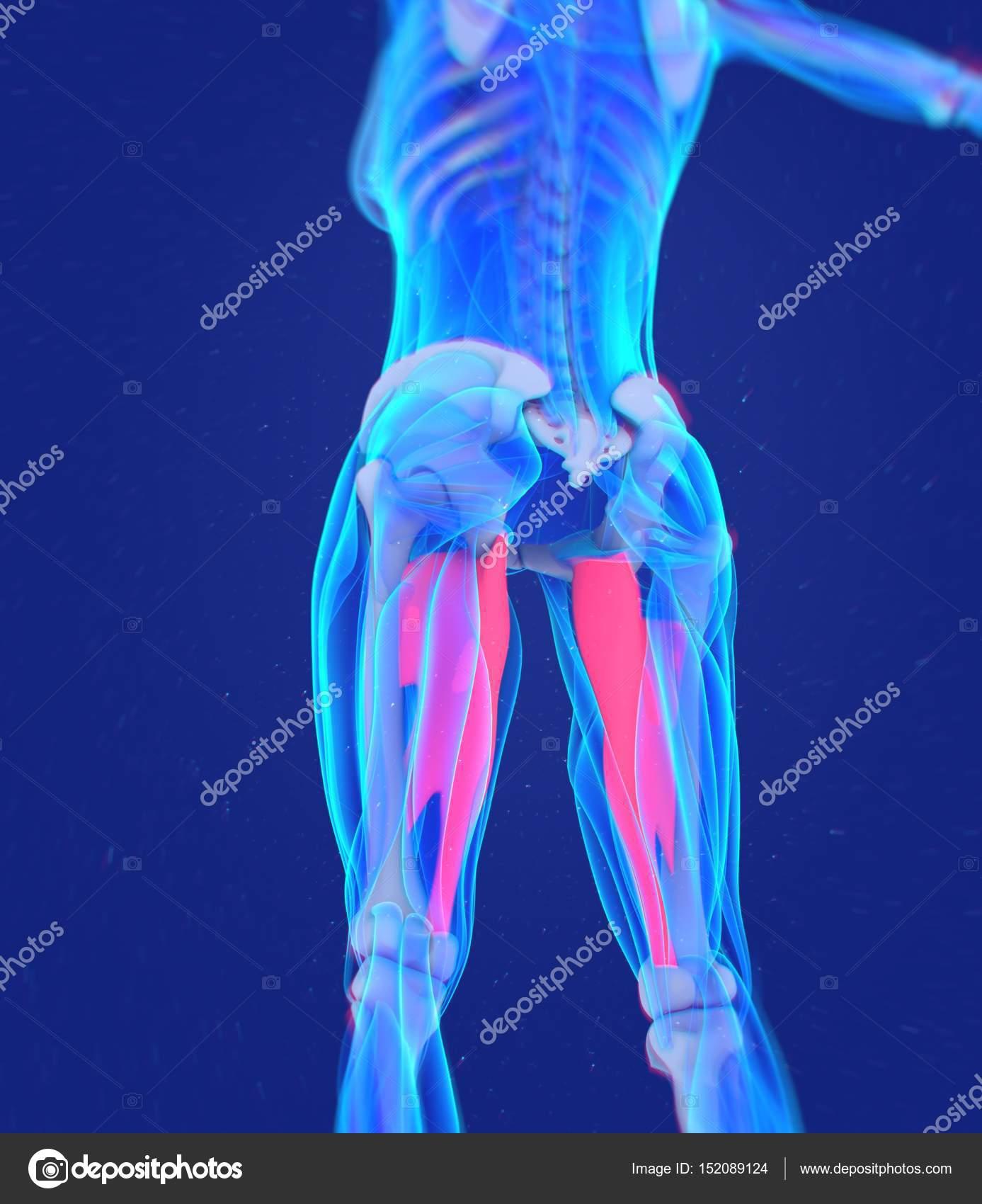 modelo de anatomía de los músculos aductores — Fotos de Stock ...