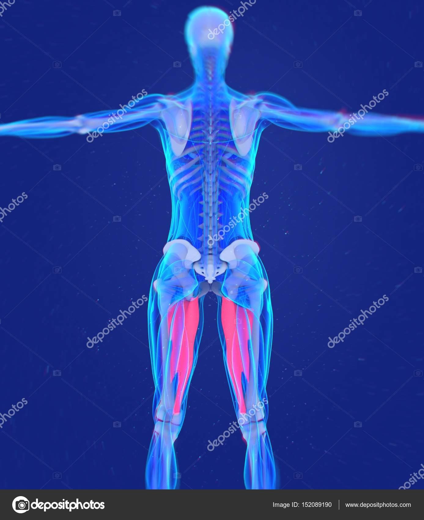 modelo de anatomía de los músculos aductores — Foto de stock ...