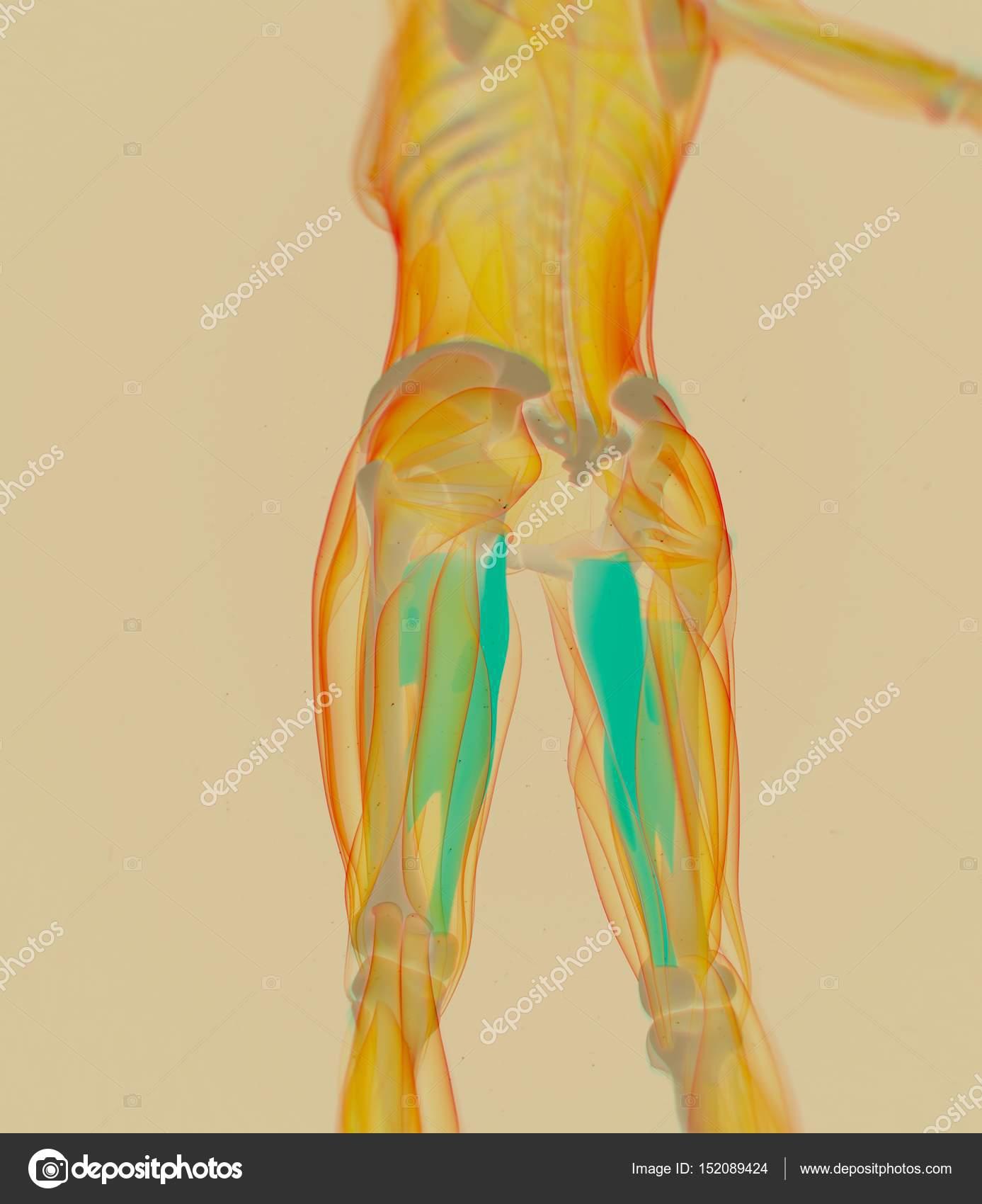 Adductor Muscles Anatomy Model Stock Photo Anatomyinsider 152089424