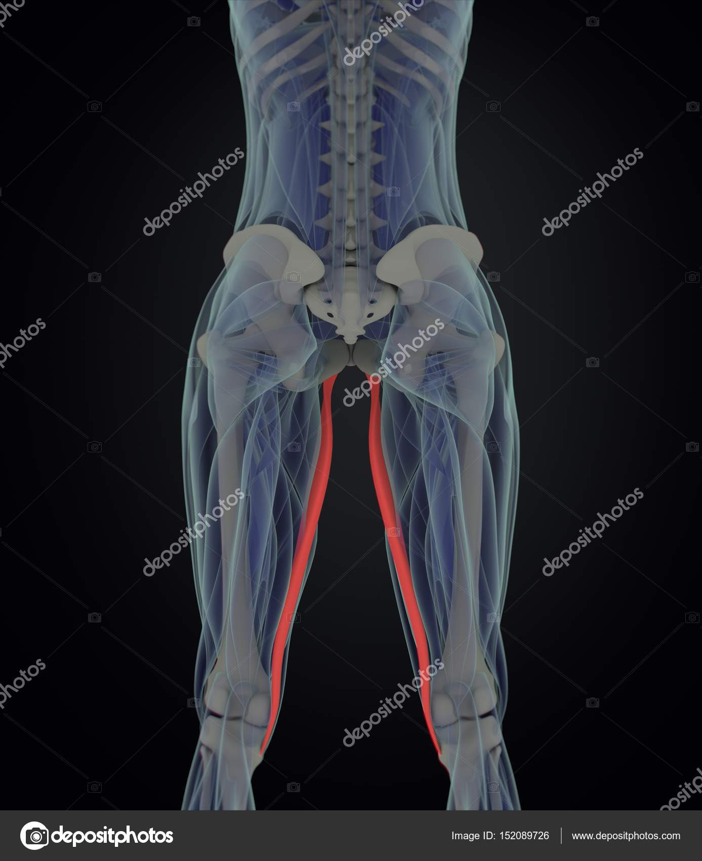 Gracilis Muscles Anatomy Model Stock Photo Anatomyinsider 152089726