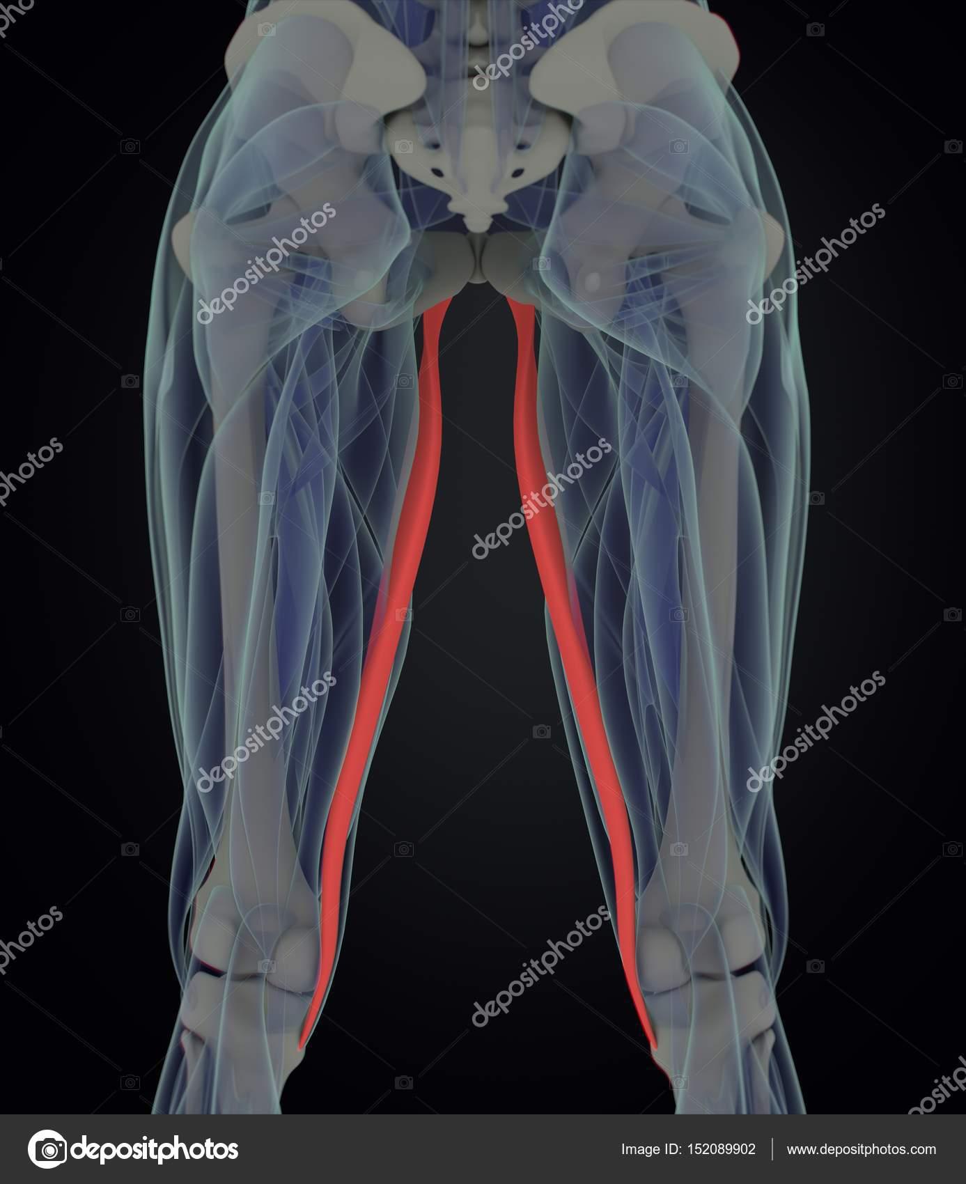 Gracilis Muscles Anatomy Model Stock Photo Anatomyinsider 152089902