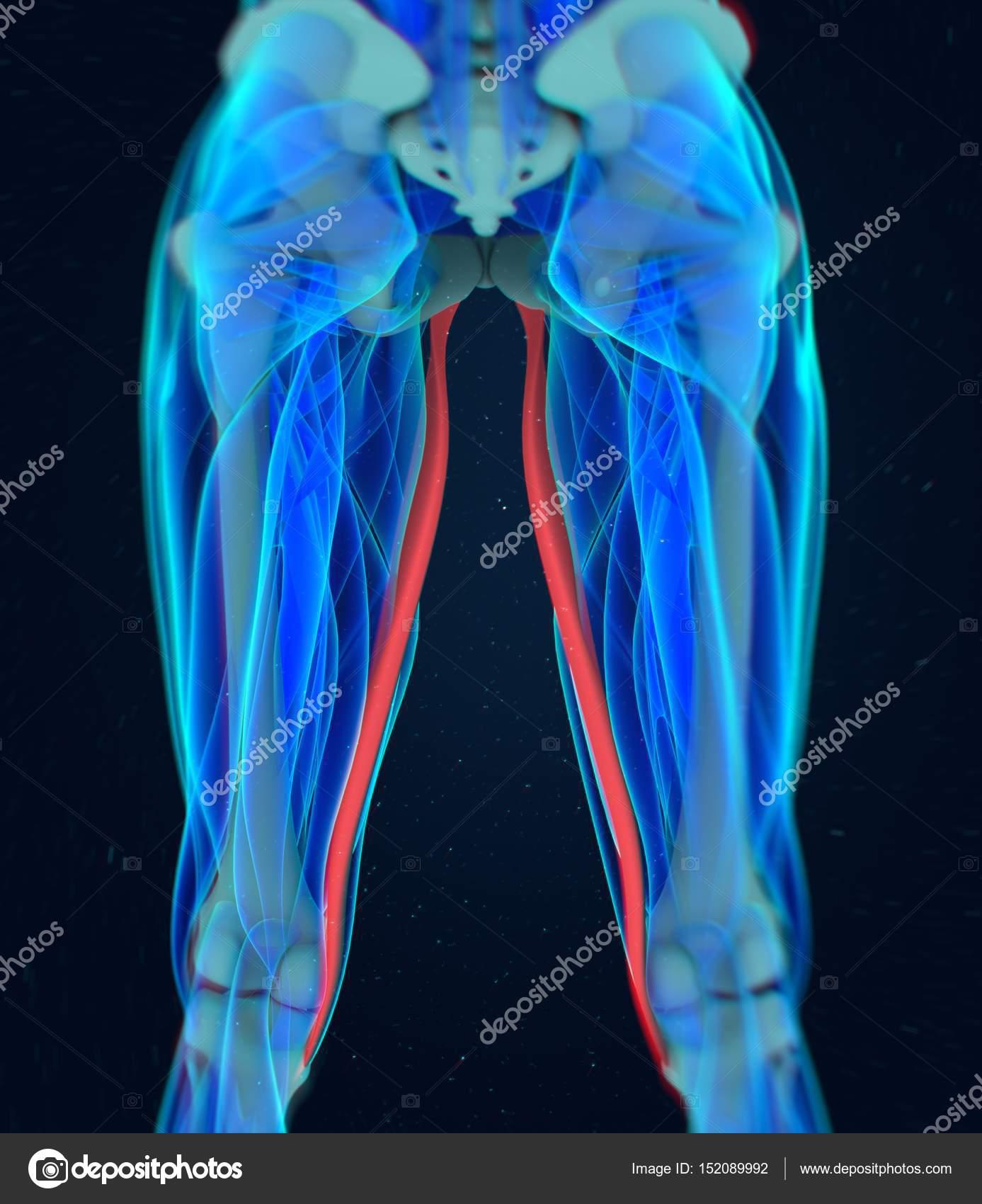 Gracilis Muscles Anatomy Model Stock Photo Anatomyinsider 152089992