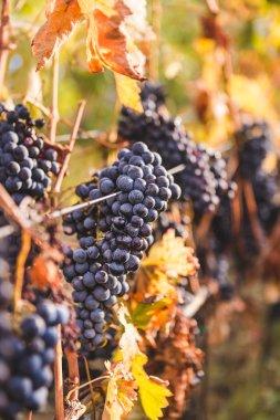Ripe grapes on Tuscan vineyard
