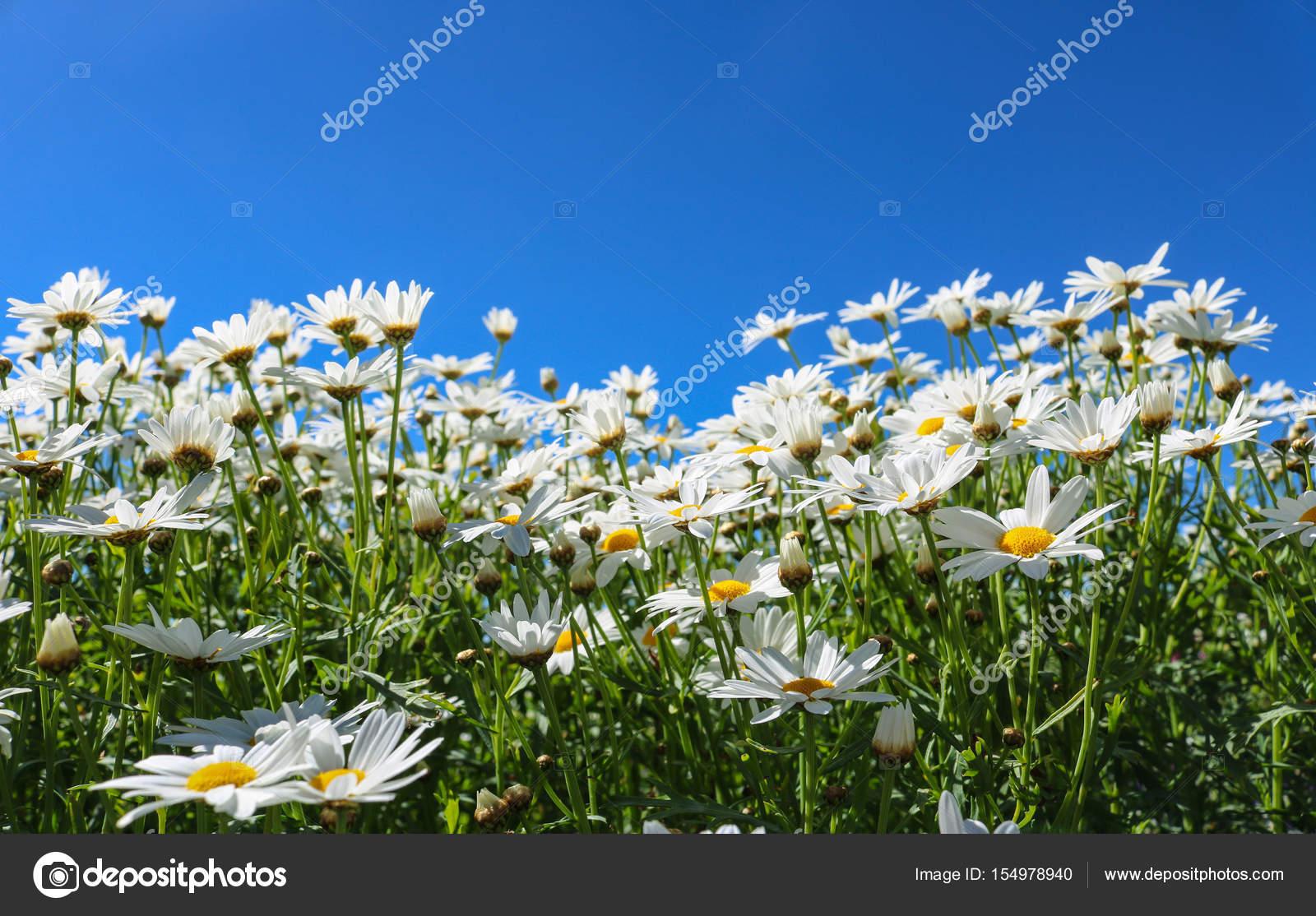 The Daisy Flower Symbolizes Innocence A Loyal Of Love Stock Photo