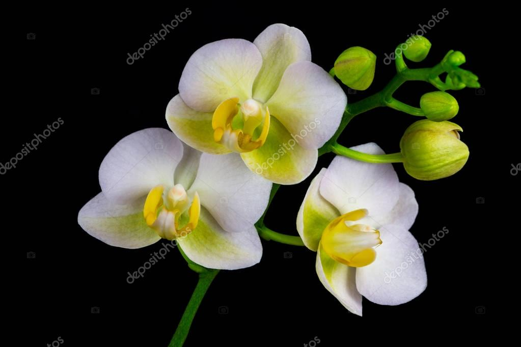 Zen orchid flower stock photo veroja 129980600 close up of white yellow orchid flower zen in the art of flowers macro photography of nature photo by veroja mightylinksfo