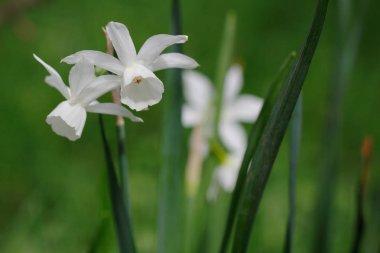 White Albiflorae Rouy Narcissus