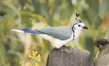 Blue Bird on Rear Car Tire