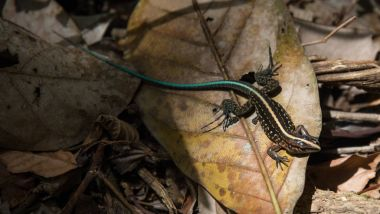 Lizard with Green Tail