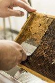 Honeycomb open unwaxing fork beekeeper uncapped for harvest golden delicious honey closeup