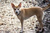 Piccolo cane peloso Podengo portoghese indossa un collare blu