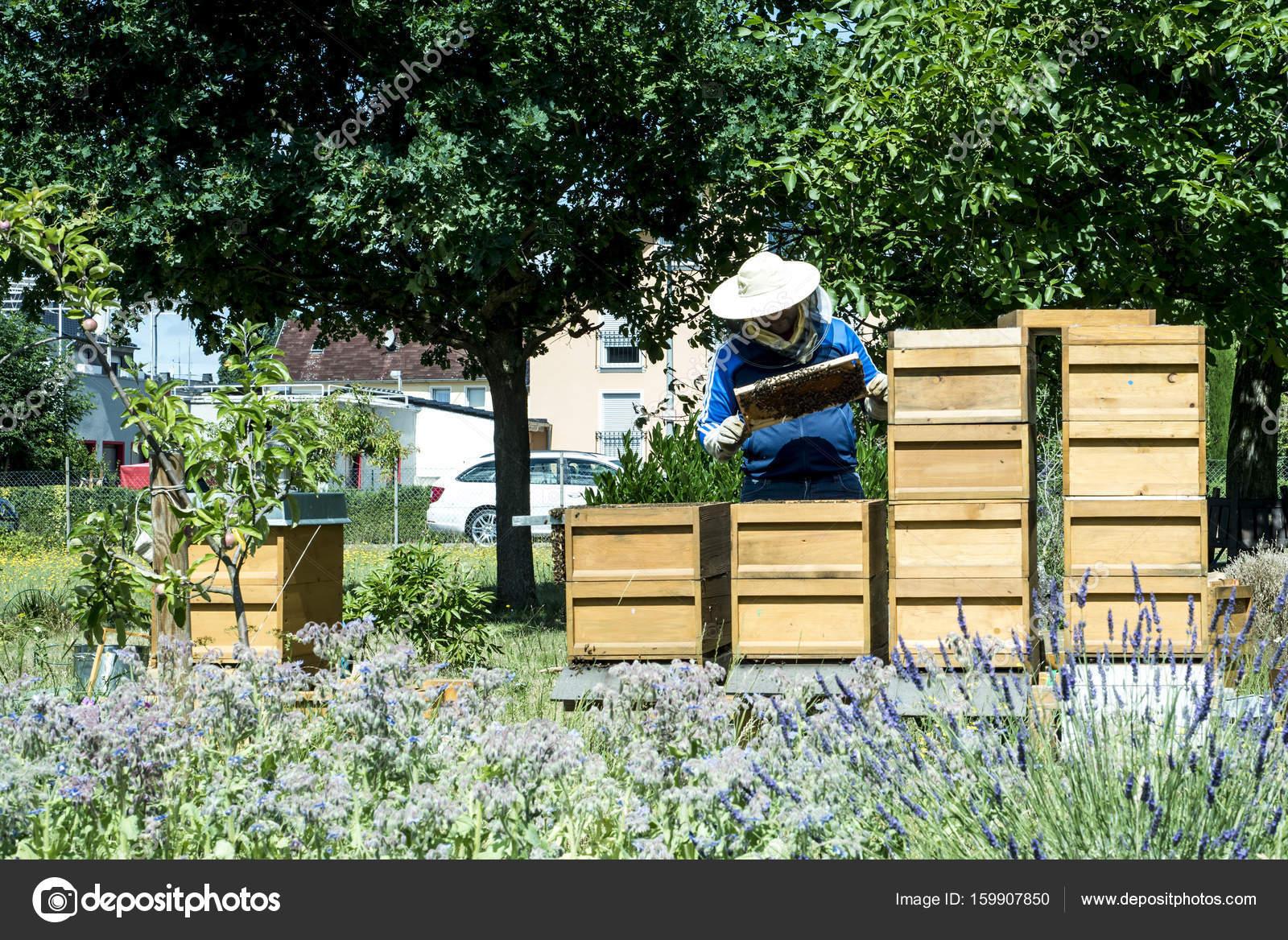 Apicultor trabajando en colmena agrega Marcos, viendo las abejas ...