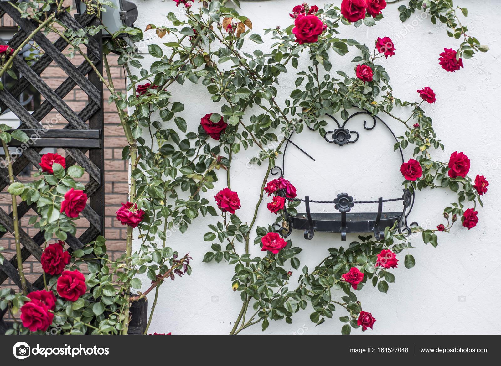hermosa floración rosa arbusto blanco rocódromo que rodea el marco ...