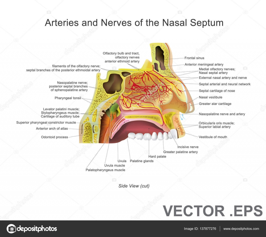 Arteries And Nerves Of The Nasal Septum Anatomy Vector Design