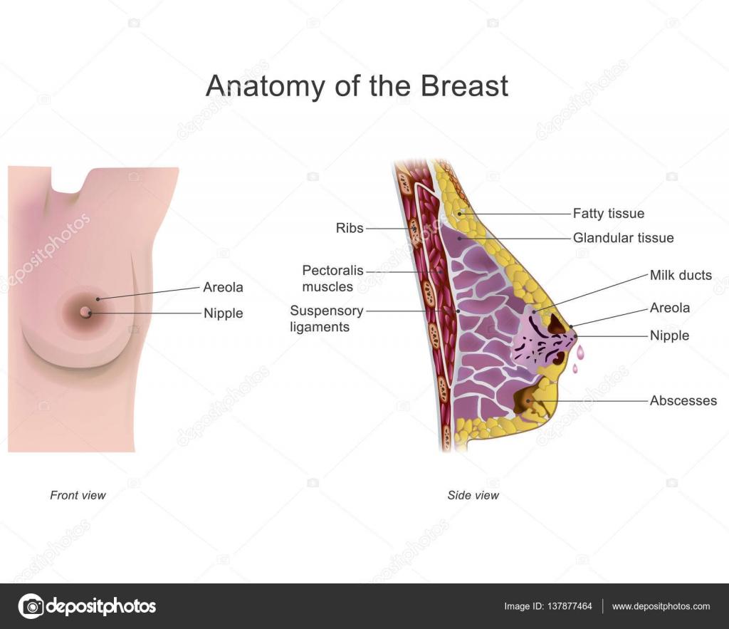 Anatomy of the breast. Vector design, Illustration. — Stock Vector ...
