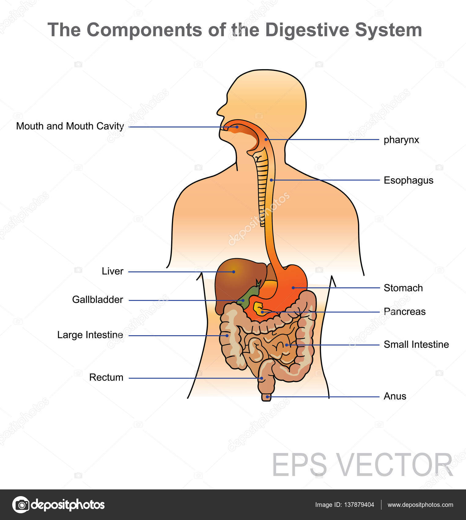 Human digestive system vector design illustration stock vector human digestive system vector design illustration stock vector ccuart Image collections