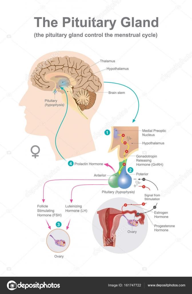 The Pituitary Gland Women Stock Vector Pattarawit 161747722