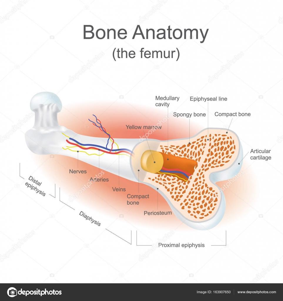 Bone Anatomy (the femur) — Stock Vector © pattarawit #163907650