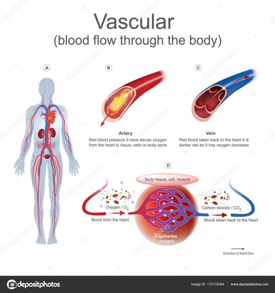 Vaskulären Blutfluss durch den Körper — Stockvektor © pattarawit ...