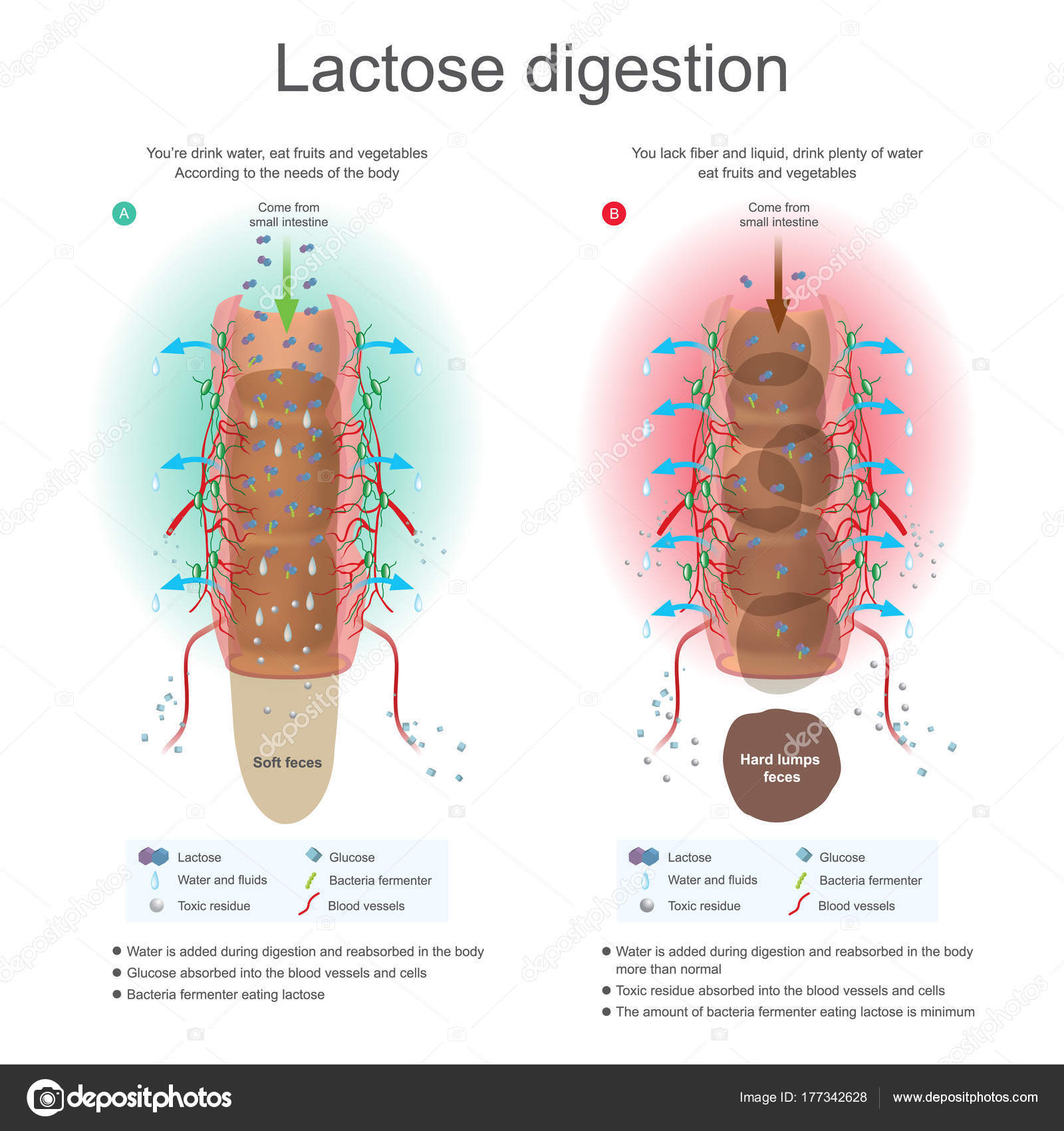 Lactose digestion. Water is added during digestion and reabsorb in ...