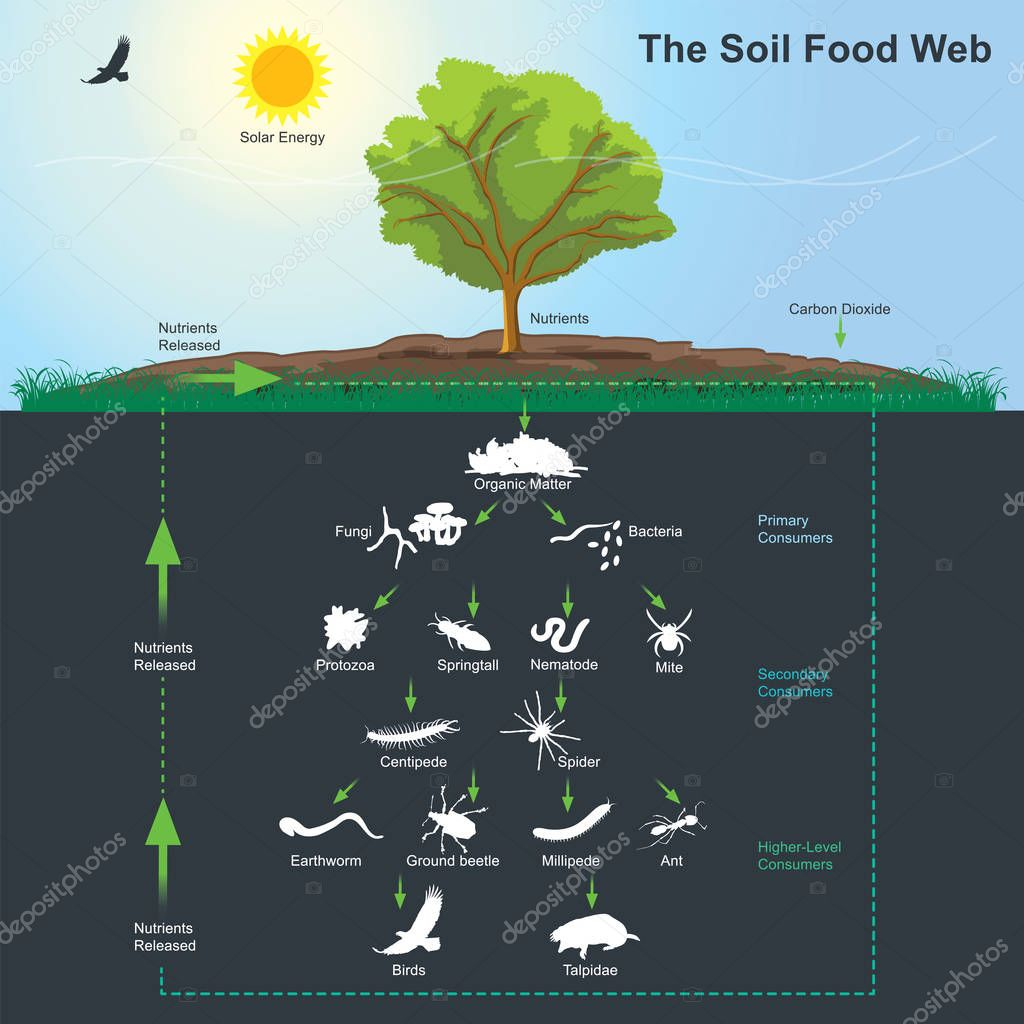 The Soil Food Web diagram. Illustration info graphic.
