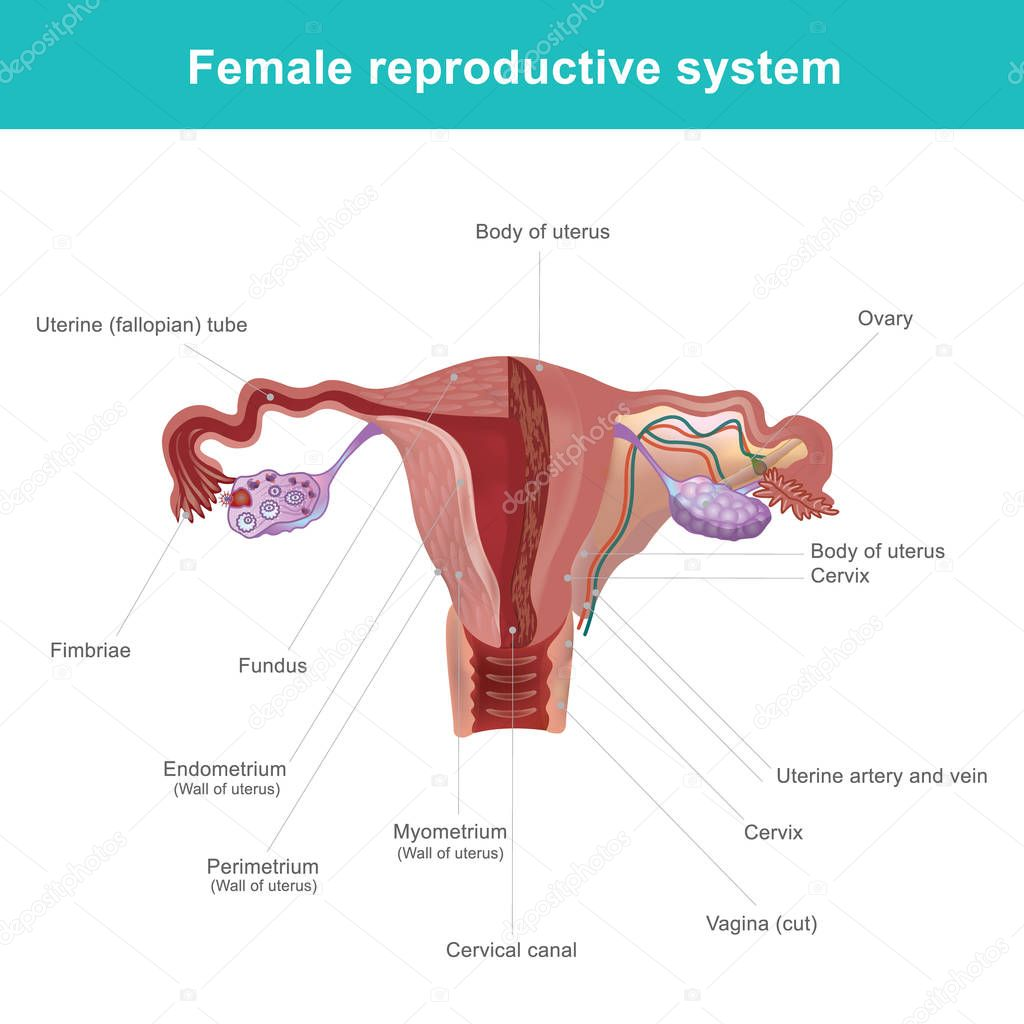 the female reproductive system  u2014 stock vector